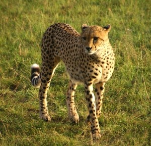cheetah-in-the-morning-3-1428197-m